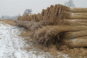 Bossen riet liggen na het maaien op een rij klaar.