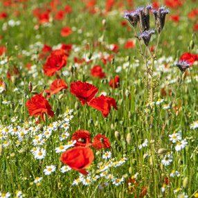 Goed voor de biodiversiteit, een veld vol weidebloemen zoals klaproos en kamille.